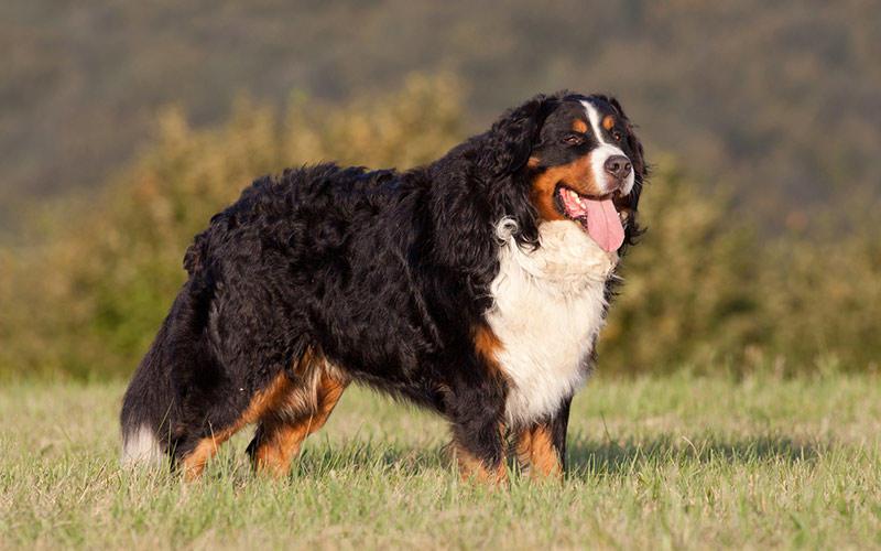 バーニーズ 子犬