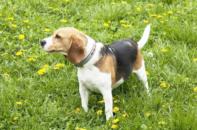 アメリカン・フォックスハウンド | 犬の保険 | ペット保険の「PS保険 ...