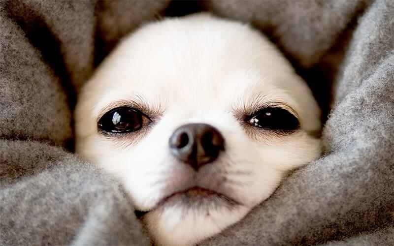 犬が震える原因とは?病院に連れて行くべき症状を獣医が解説 | ペット ...