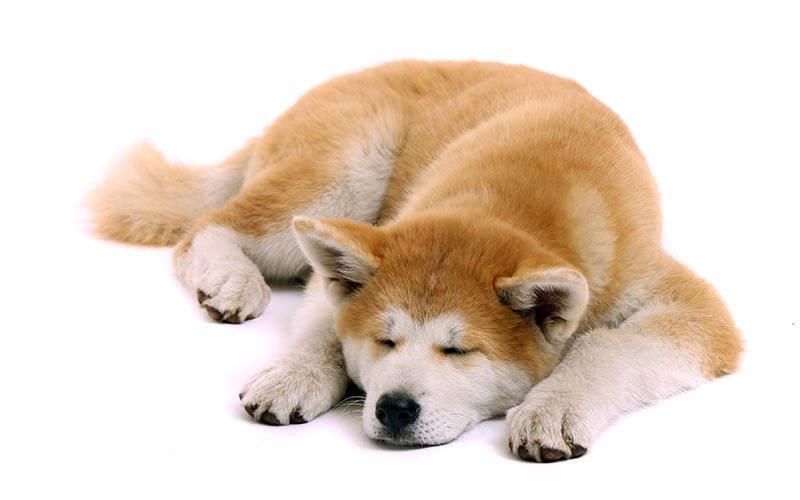 ない ペット 臭く 体臭が少ない犬種13選