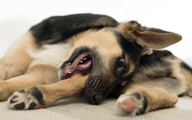 捻挫 犬 尻尾